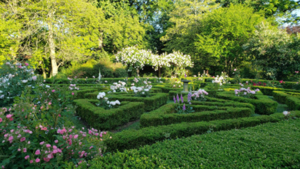 sunrise in a knot garden of boxwood and roses