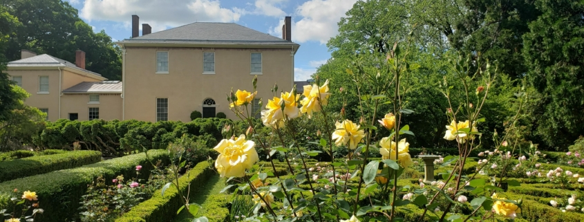 yellow roses in geometric boxwood hedges
