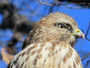 head of a young hawk